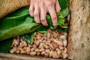発酵中のカカオ豆