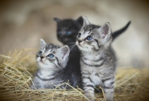 3匹の子猫のチョコレートはもったいなくて食べられません。
